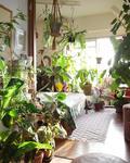 インテリア映えする植物の飾り方【ビカクシダ】の画像
